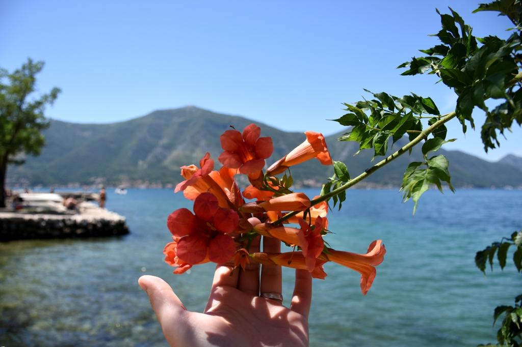 Kukkaloistoa Kotorin lahdella - Montenegro