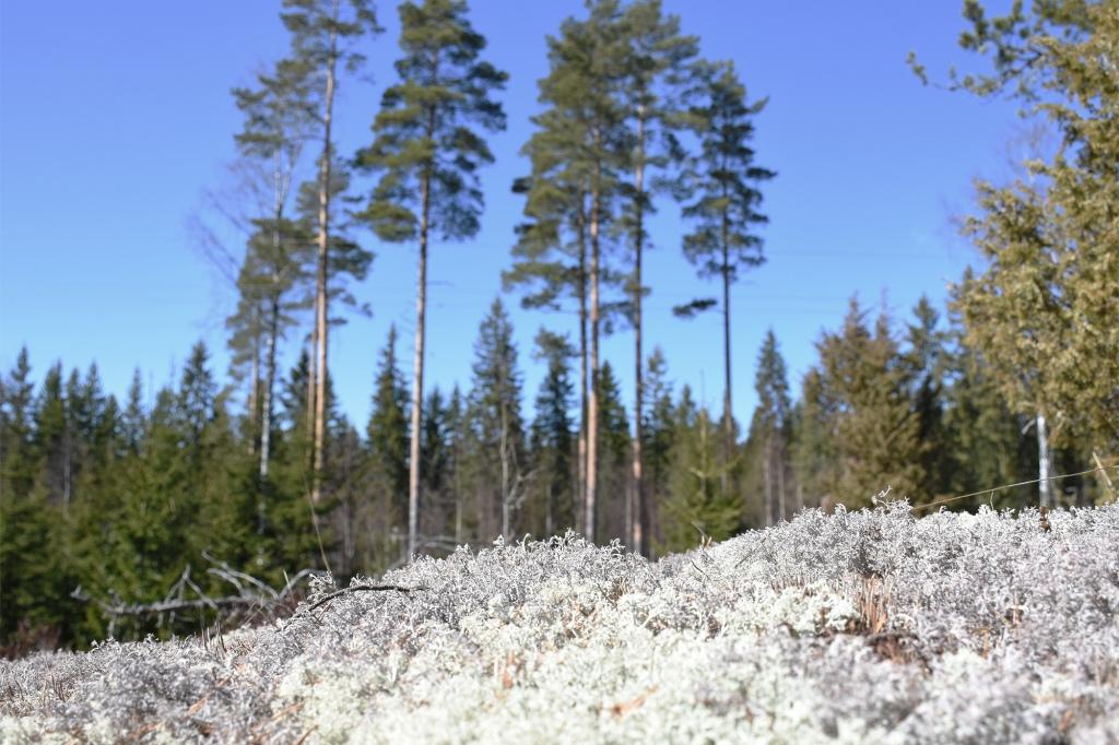 Keväinen metsä ja jäkälää