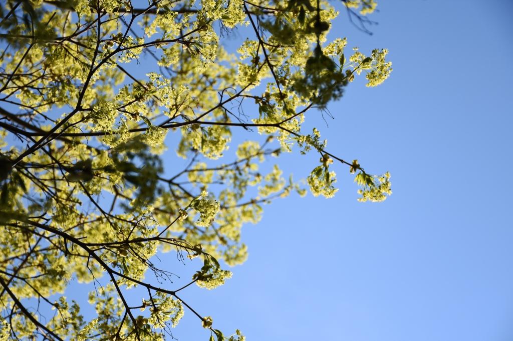 Toukokoisia vaahteran kukintoja