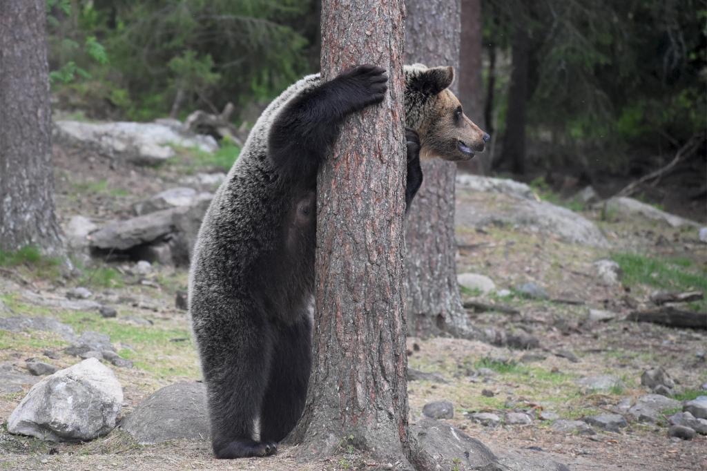Karhu nojaa puuhun