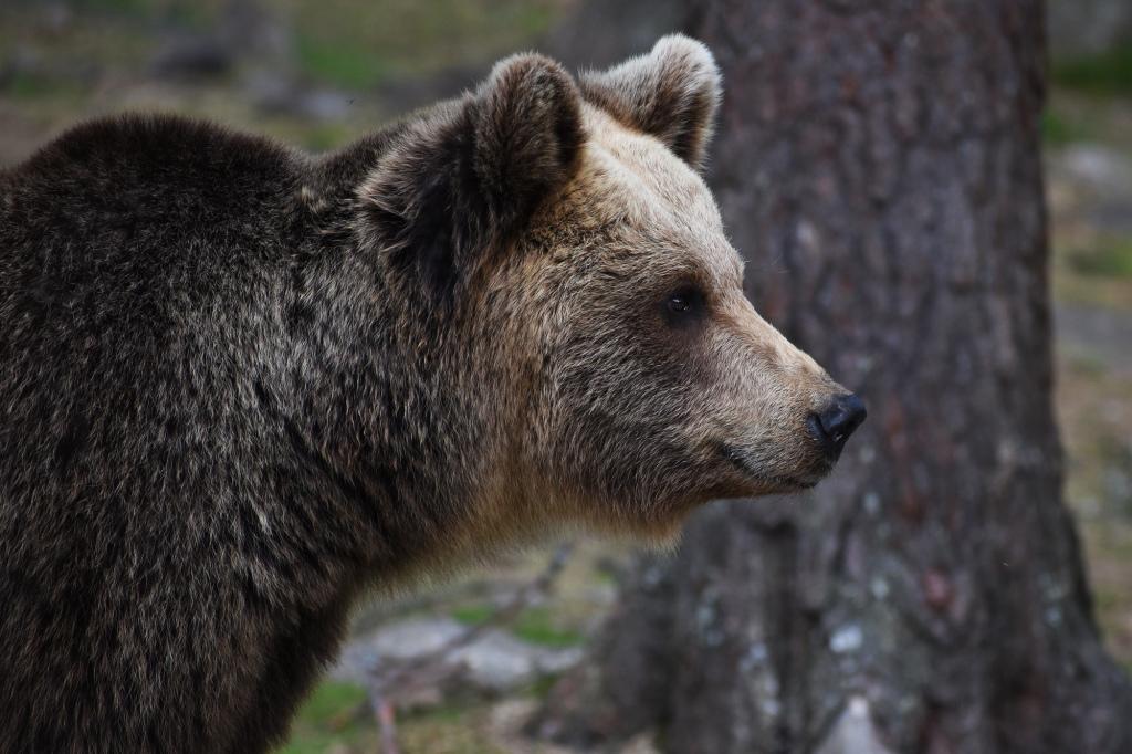 Karhun sivuprofiili