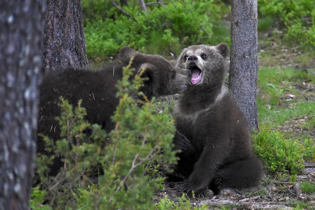 Karhunpennut leikkivät