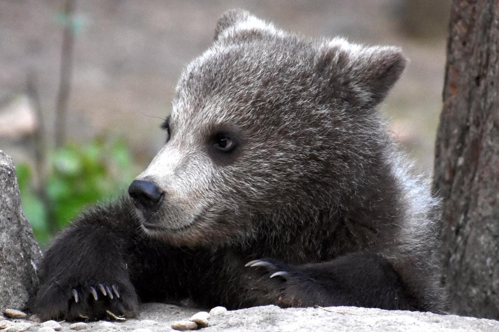 Karhunpentu lähikuva