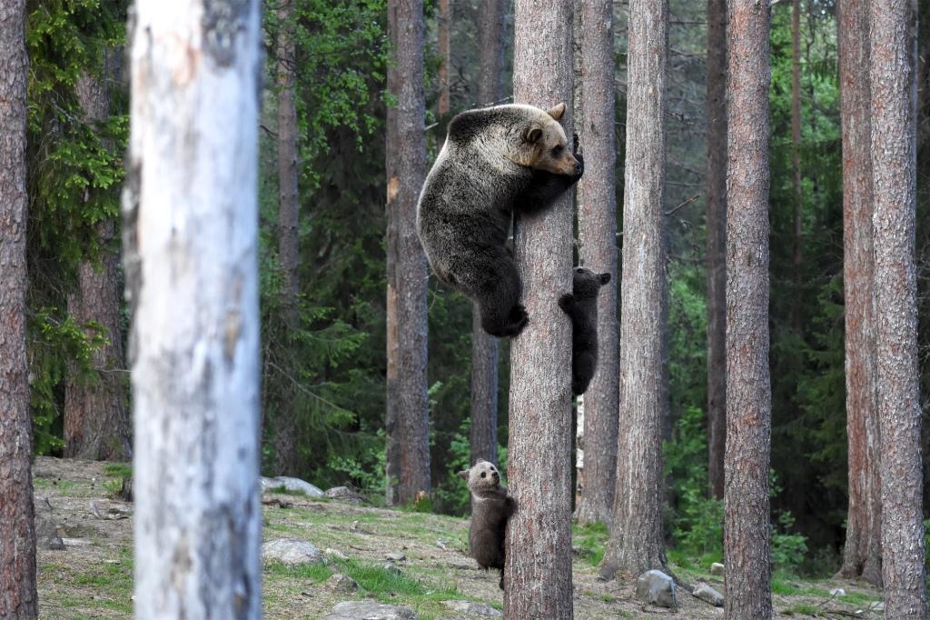 Karhuperhe puussa