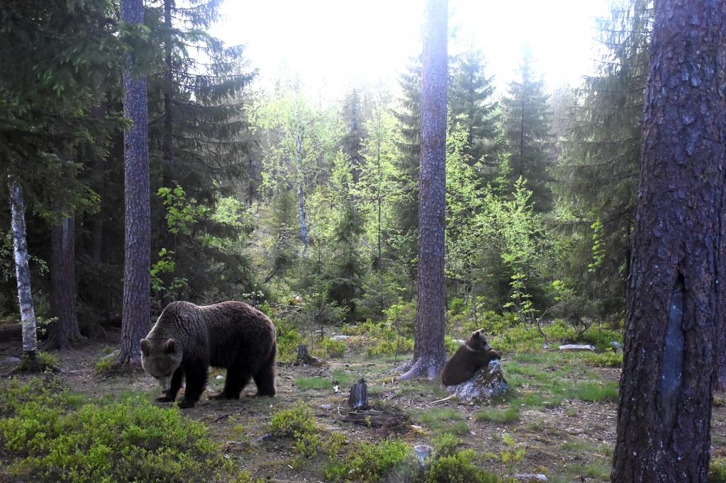 Karhut ilta-auringon valossa