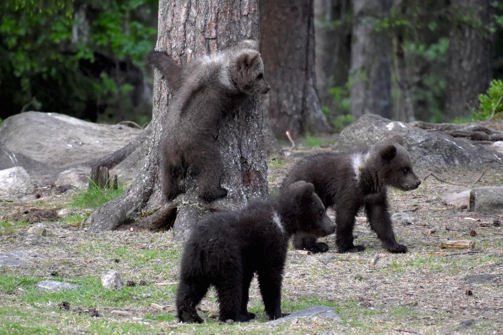 Kolme karhunpentua