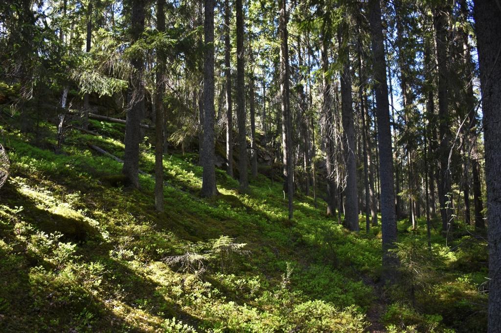 Nuuksio puita rinteessä
