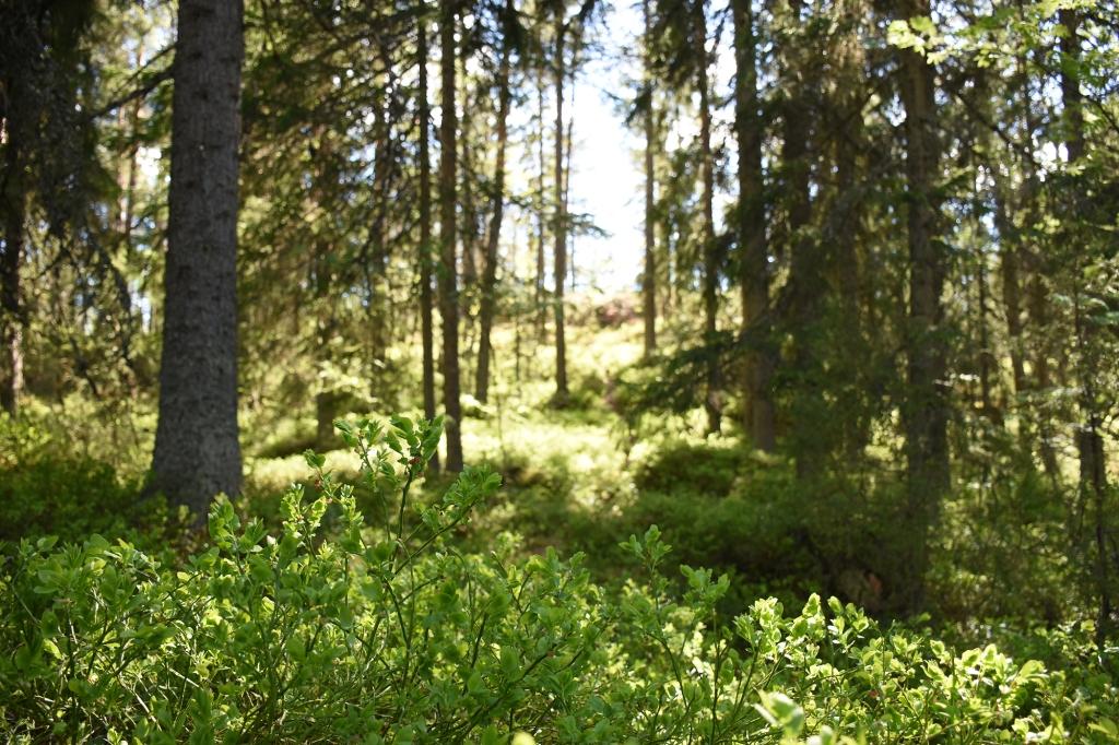 Metsää Nuuksiossa