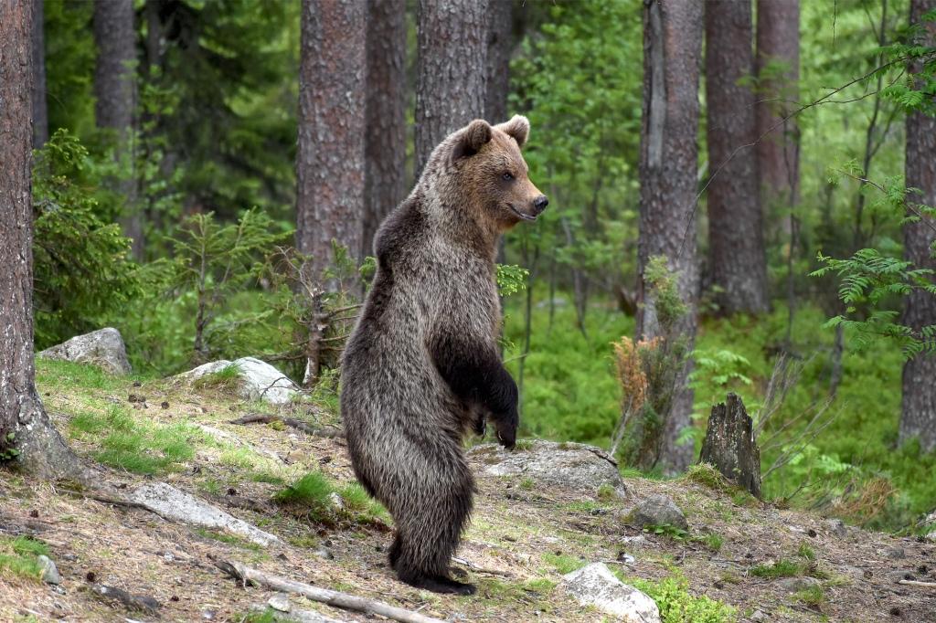 Seisova karhu