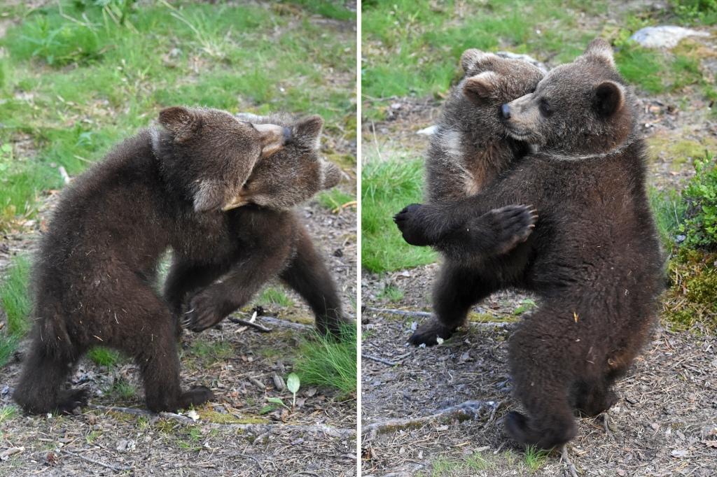 Karhunpennut painivat