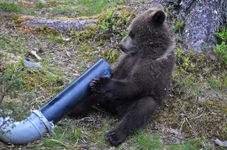 Video: karhunpentujen elämää
