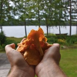Sienimetsän satoa, eli kantarelleja ämpärikaupalla
