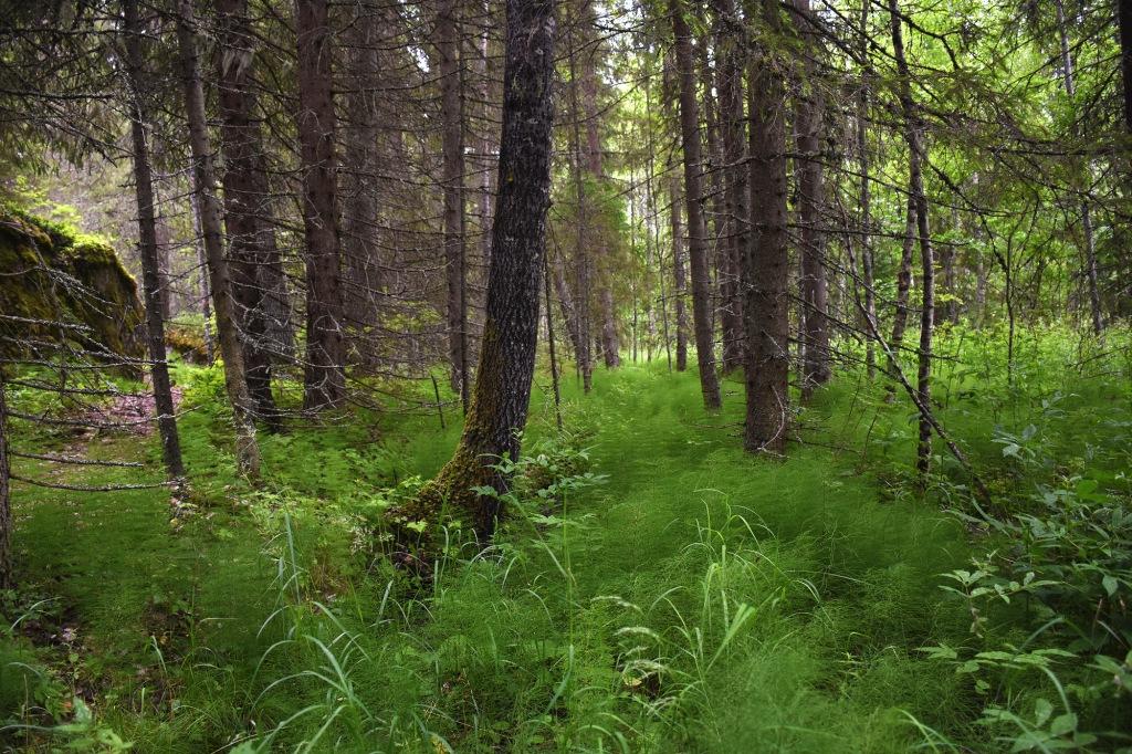 Karoliinanportaat tiheä metsä