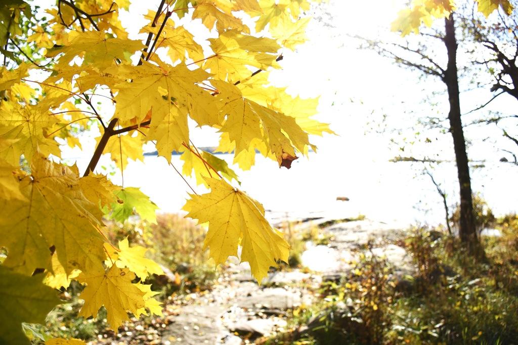 Keltaisia vaahteran lehtiä