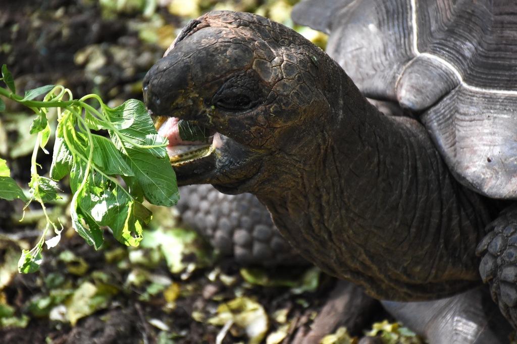 Kilpikonnan ruokinta Sansibarilla