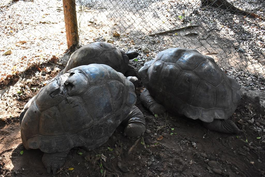 Sansibarin vanhin kilpikonna, isoisä