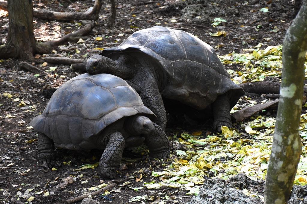 Kilpikonnien parittelu alkmassa