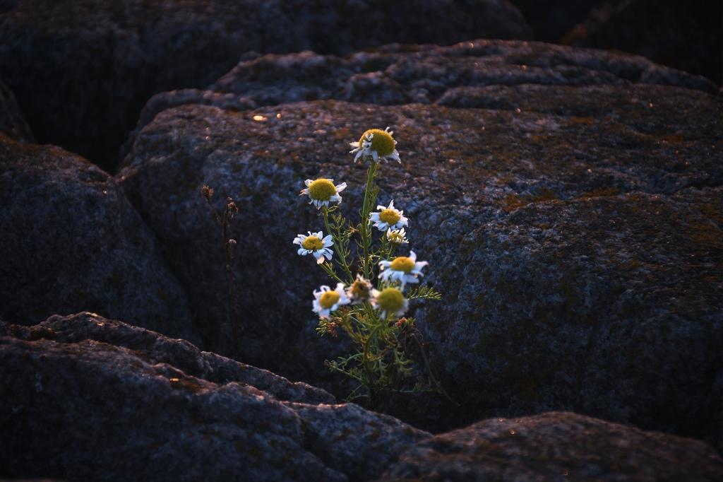 Kallioiden välissä olevia kukkia