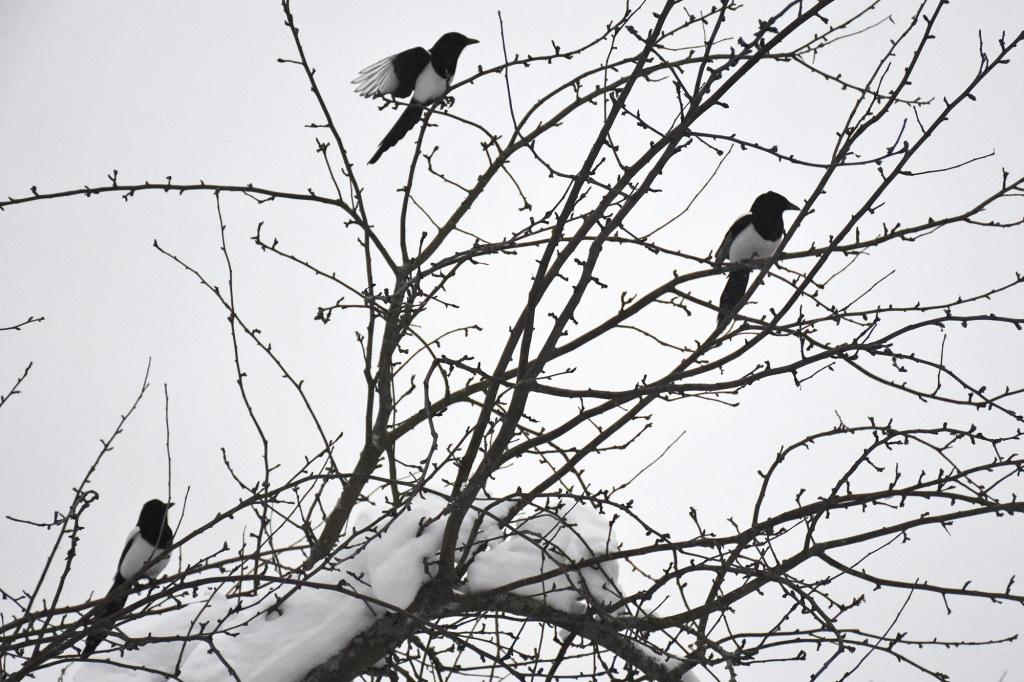 Kolme harakkaa omenapuun oksilla