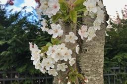 Pariisissa puut jo kukkivat