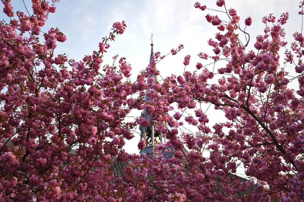 Kukkivia puita Utrechtissa