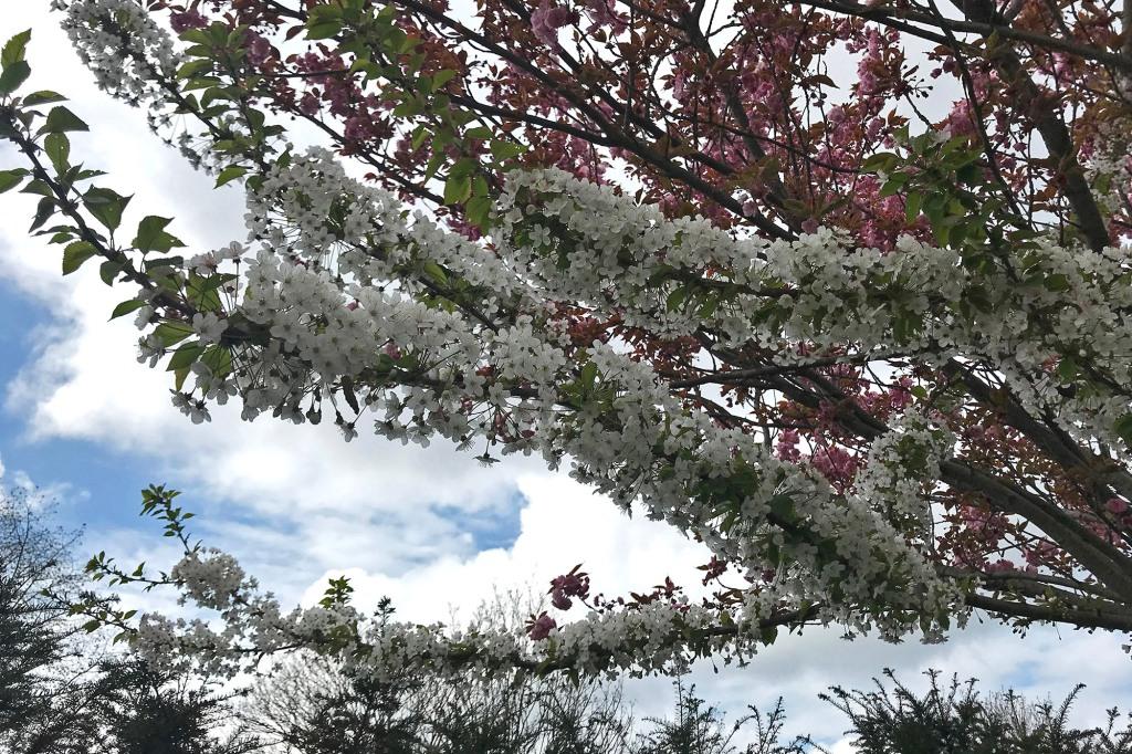 Puut kukkivat Pariisissa