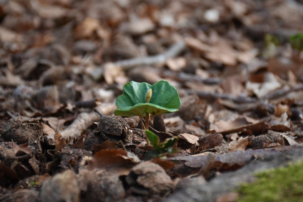 Pyökin taimi metsässä