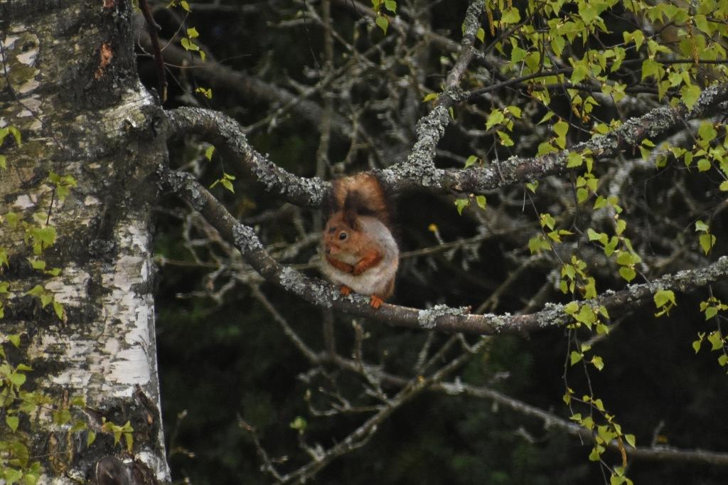 Orava koivun oksalla