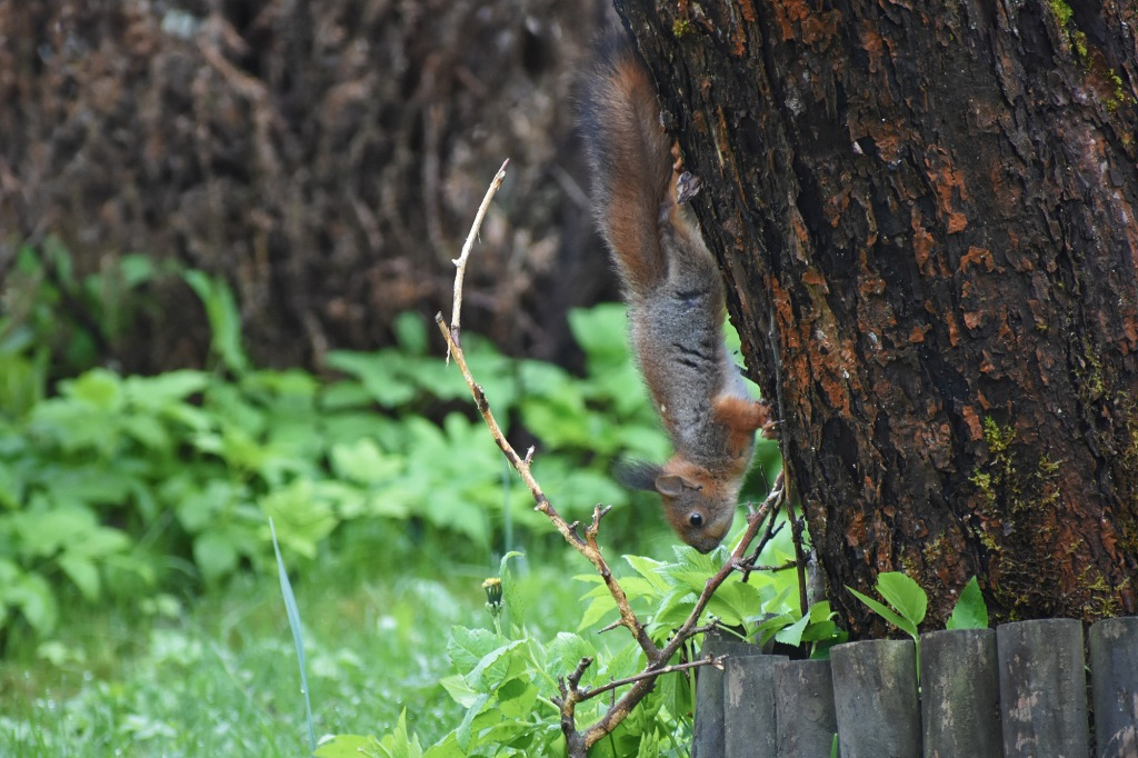 Oravanpoikanen kurkottaa alas