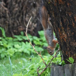 Oravien leikkiä kotipihan puissa