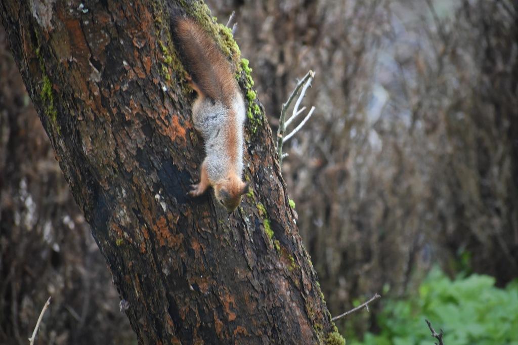 Oravanpoikanen omenapuun rungolla