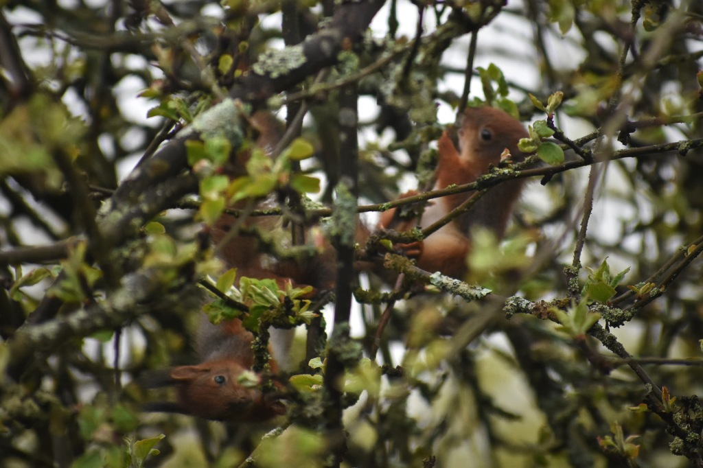 Oravanpoikaset leikkivät omenapuun oksilla