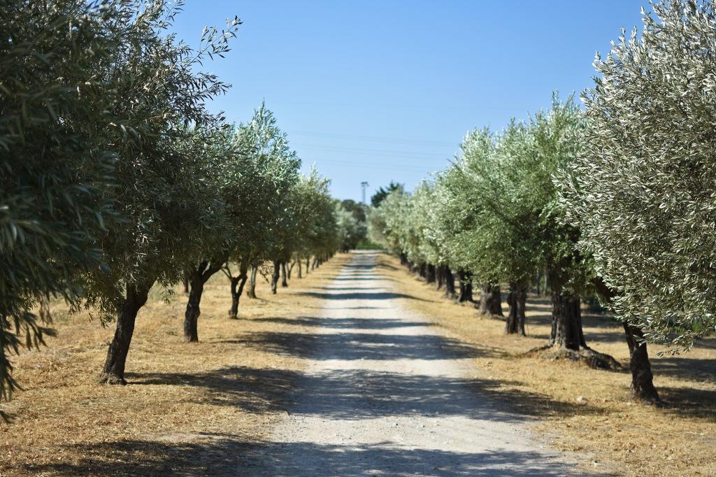 Oliivipuita rivissä