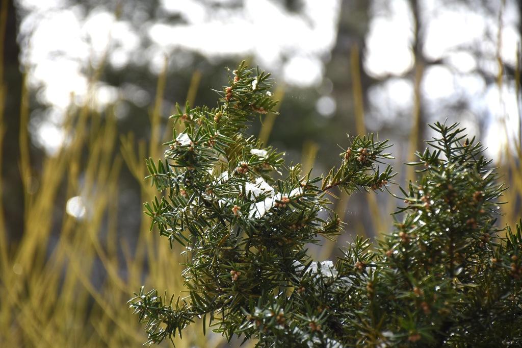 Huhtikuista lunta marjakuusen oksilla
