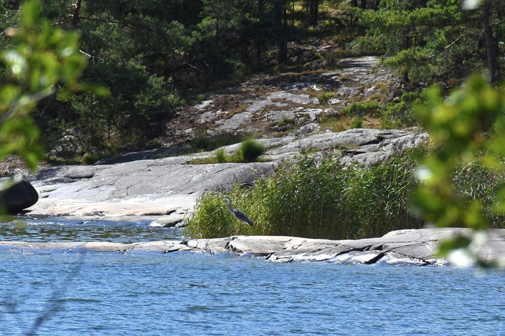 Harmaahaikara Porkkalanniemen rantakalliolla