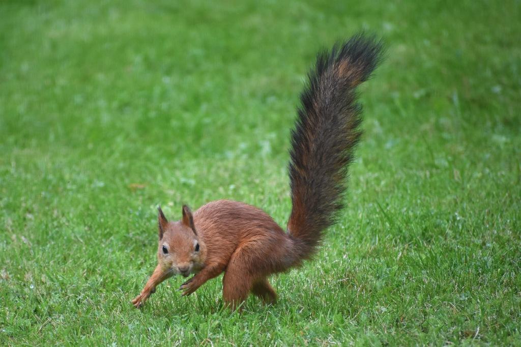 Orava loikkaa