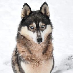 Vierailu Shaman Huskies -huskytarhalla