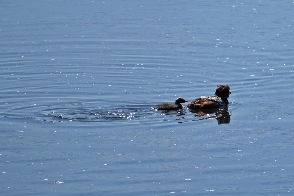 Mustakurkku-uikku ja poikanen - Suomenojan lintualtaat