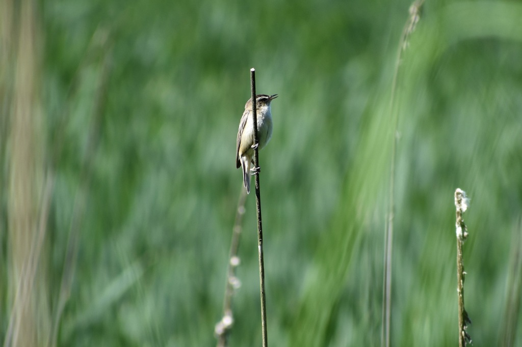 Ruokokerttunen - Suomenojan lintualtaat