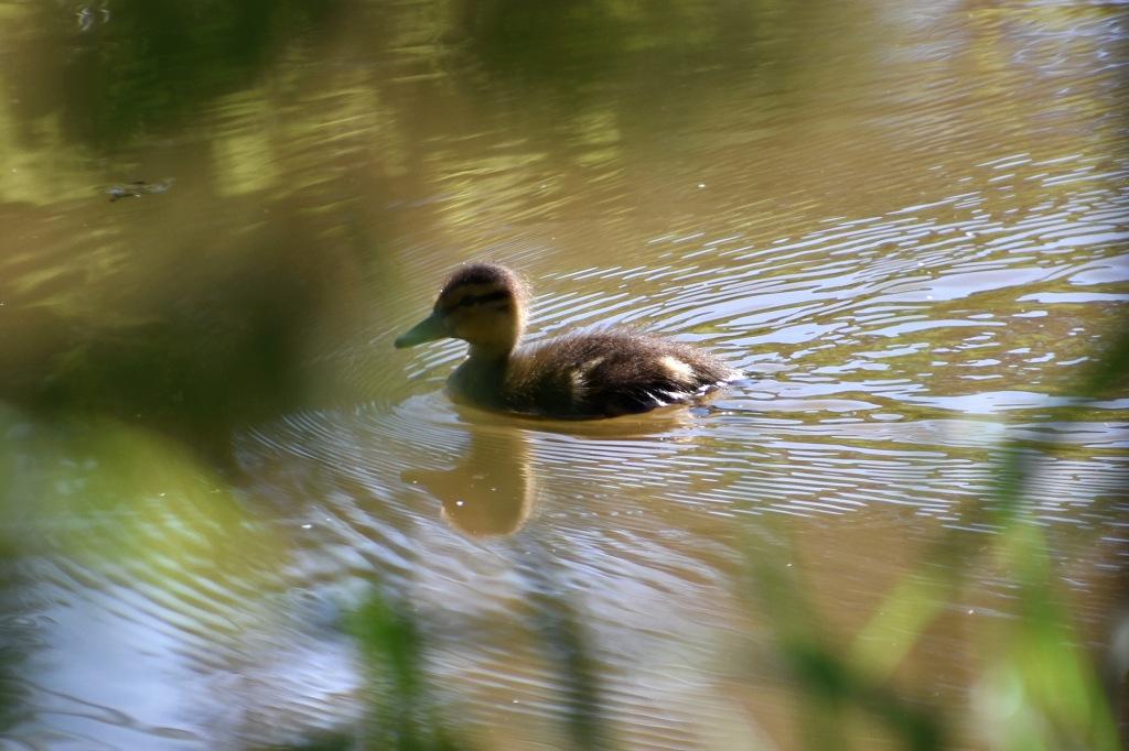 Sorsanpoikanen uimaretkellä