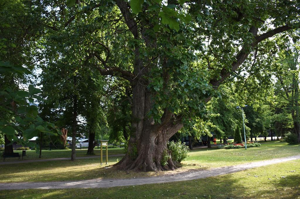 Heinolan Tsaarinpoppeli - Suomen suurin puu