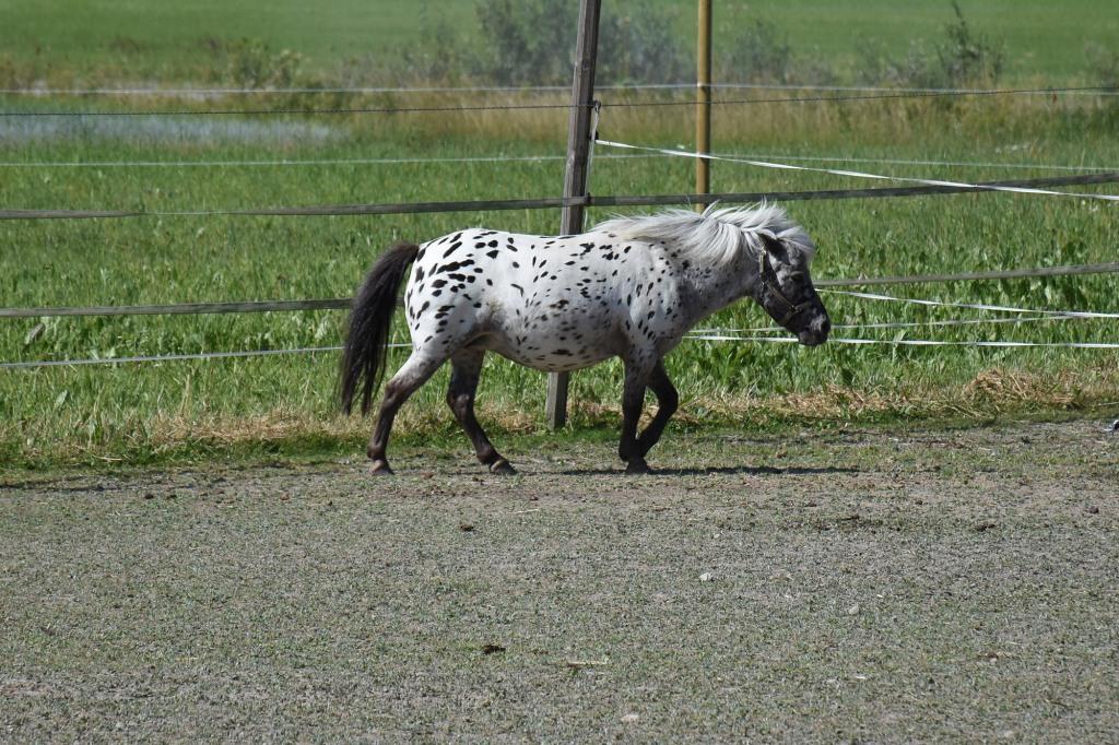 Yksi Kilkkilän farmin shetlannin poneista