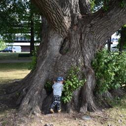 Suomen suurimman puun jäljillä Heinolassa